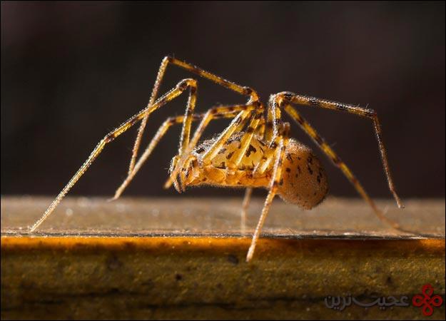 عنکبوت-تُف-انداز