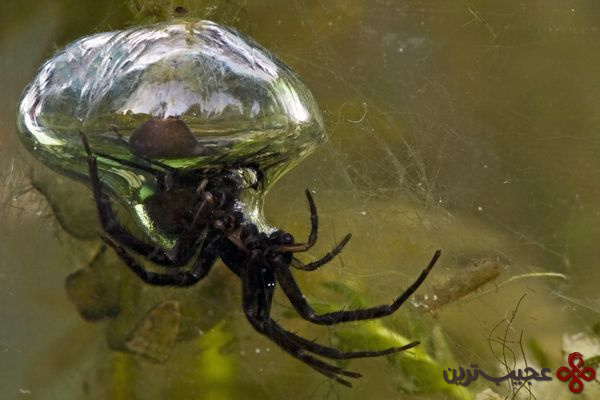 عنکبوت-غواص-دو