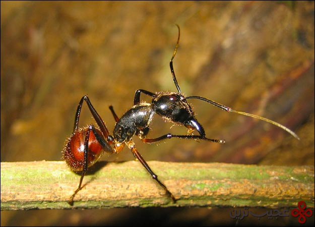 مورچه-مالزیایی-یک
