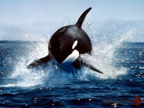 نهنگ-قاتل