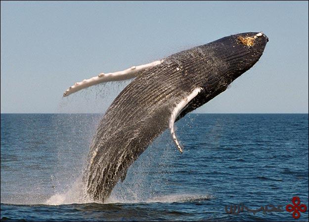 نهنگ-گوژپشت