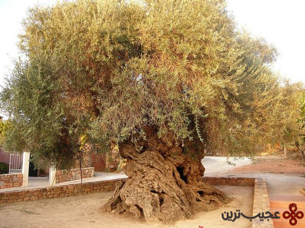 olive_tree_of_vouves