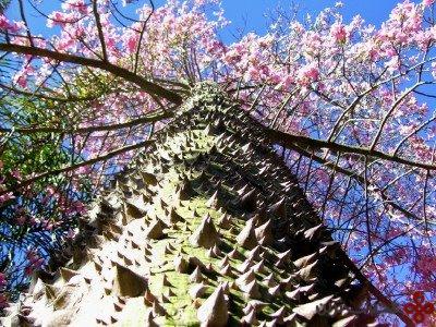 silk-floss-tree
