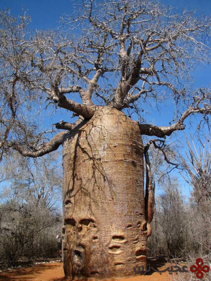teapot_baobab