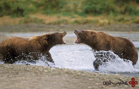 خرسهای گریزلی