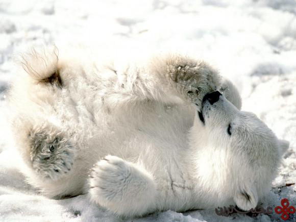 خرس-قطبی