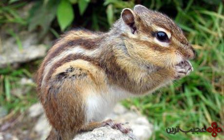 سنجاب-راهراه-سیبریایی