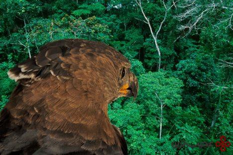 عقاب تاجدار آفریقایی