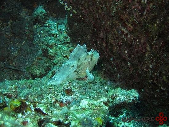 عقرب-ماهی-برگی