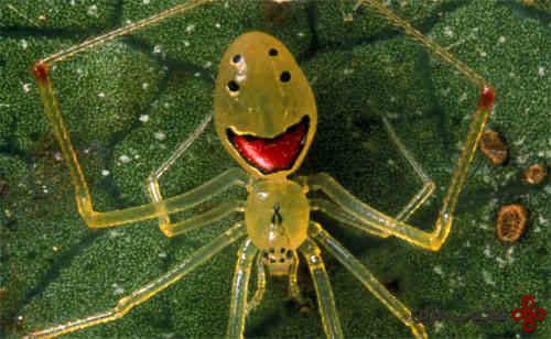 عنکبوت-خندهرو