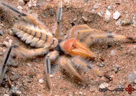 عنکبوت-شتری