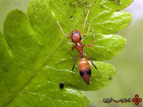 عنکبوت-مورچه-نما