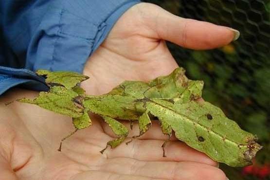 حشره ای عجیب به نام Phylliidae!