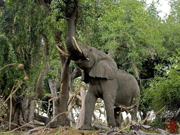 فیل-آفریقایی