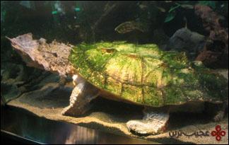 لاکپشت-قاتل