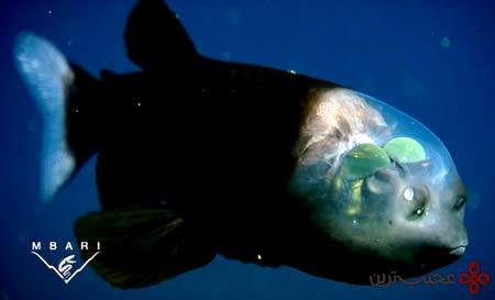 ماهی-کله-شفاف