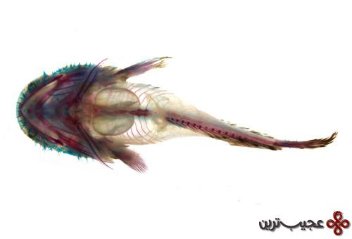 ماهی-گریه