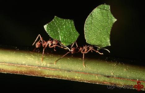 مورچه برگ بر