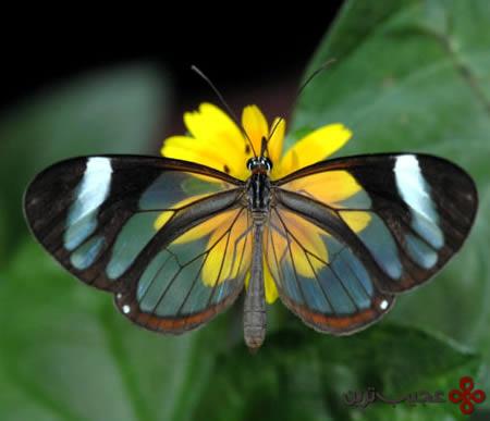 پروانه-شفاف