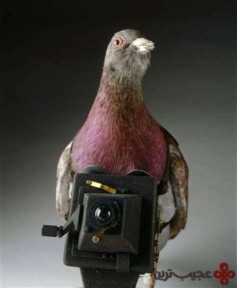 کبوتر-جاسوس