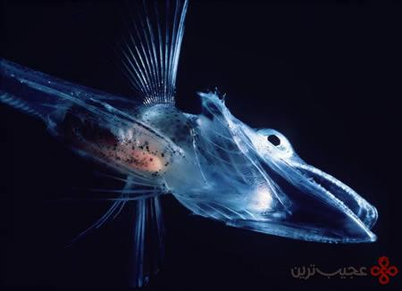 یخ-ماهی-شفاف