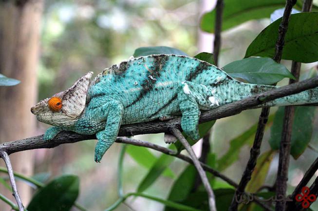 Calumma_Parsonii_Ste_Marie_Madagascar