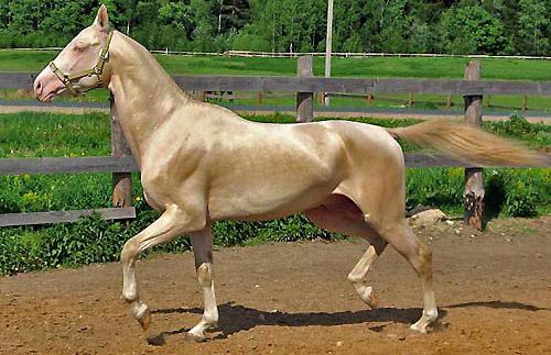 Cover-akhal-teke-stallion