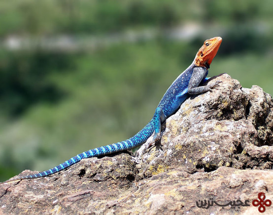 Red-headed_Rock_Agama