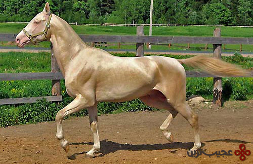 akhal-teke-stallion