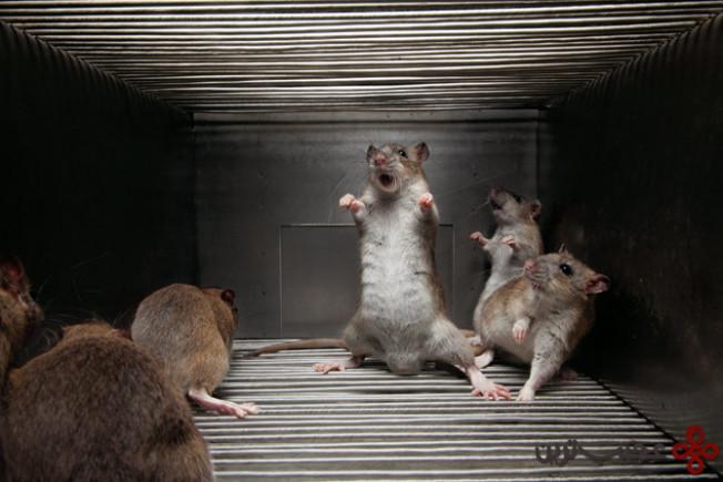 dancing-rats-taming-wild-musi
