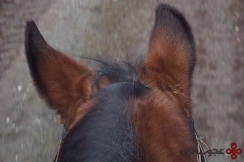horse-ears1