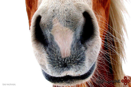 horse-mouth