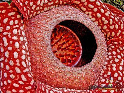 rafflesia-arnoldii-2