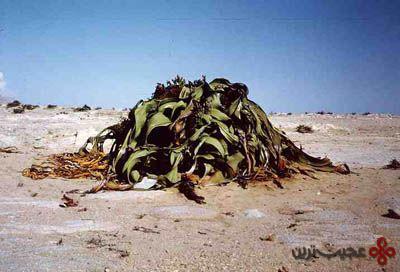 welwitschia-mirabilis-1