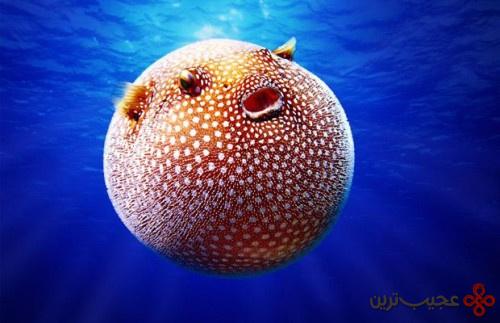 بادکنک ماهی