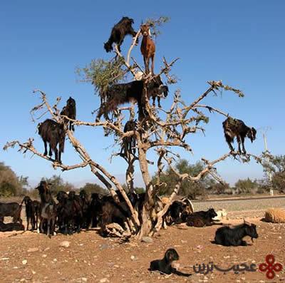 بزهای درختی (1)