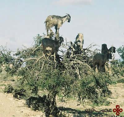 بزهای درختی (2)
