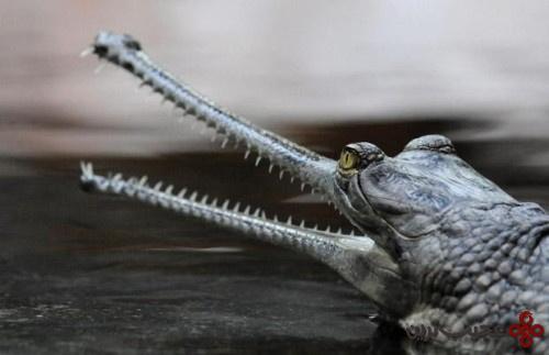 تمساح هندی