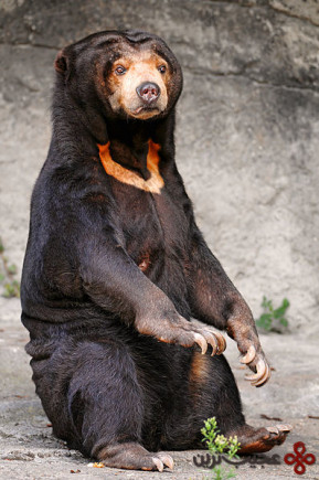 خرس آفتاب