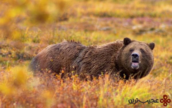 خرس گریزلی کوه راکی