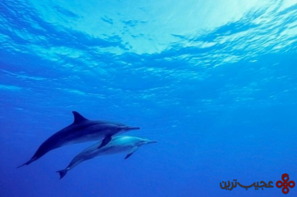 شنا دلفین وحشی