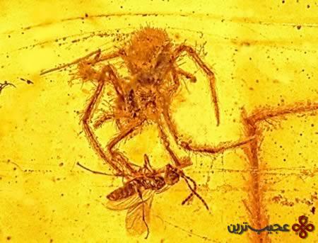 عنکبوت شکارچی