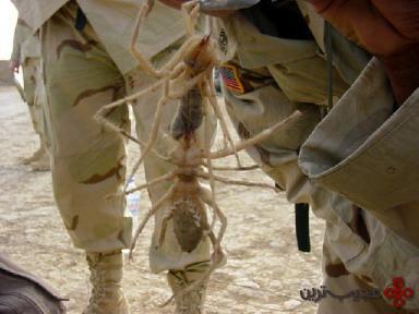 عنکبوت غول پیکر