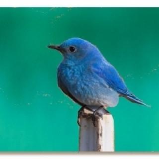 عکس کاور پرنده آبی