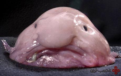 ماهی حباب (1)