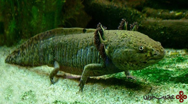 ماهی راه رونده مکزیکی (2)
