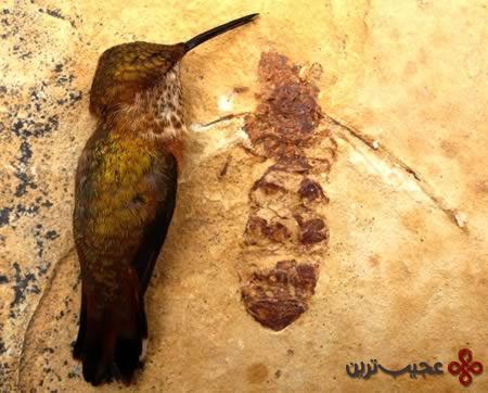 مورچه غول پیکر