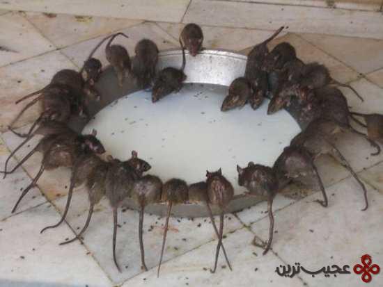 موش (1)