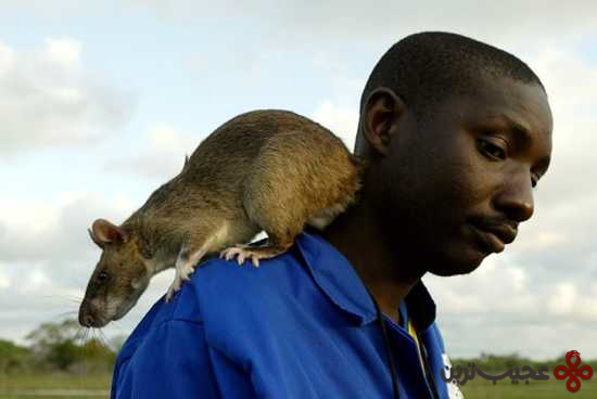موش (2)