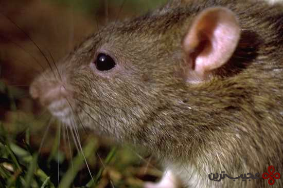 موش (8)